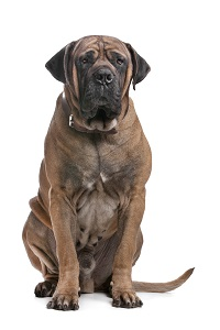My Boerboel with its long tail really looks strange. I much prefer a Boerboel with a short tail.