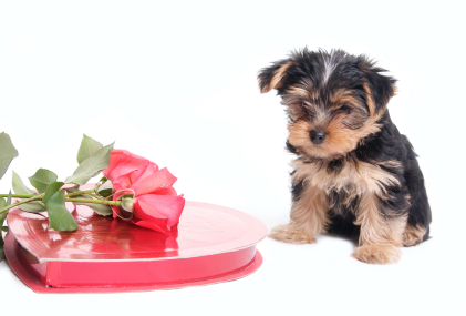 Chocolate unsafe for animal and Yorkie consumption