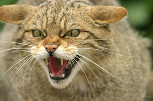 Aggressive Cat with Rabies