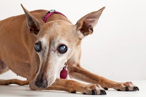 Do animals also get cataracts?