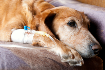 Dog with kidney failure on drip receiving fluid therapy
