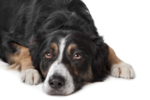 Prostate disease in dogs